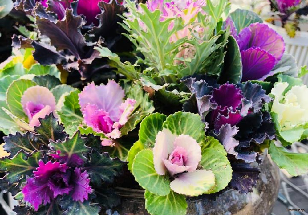 紫色 葉牡丹 ハボタン