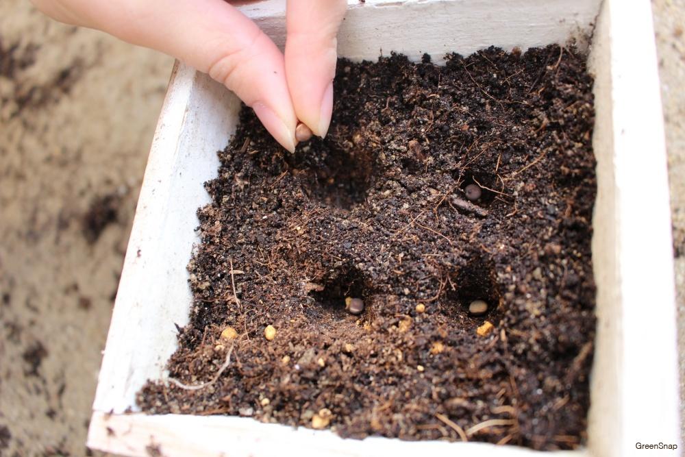 鉢植えに4つの穴を開けて種まきをする画像