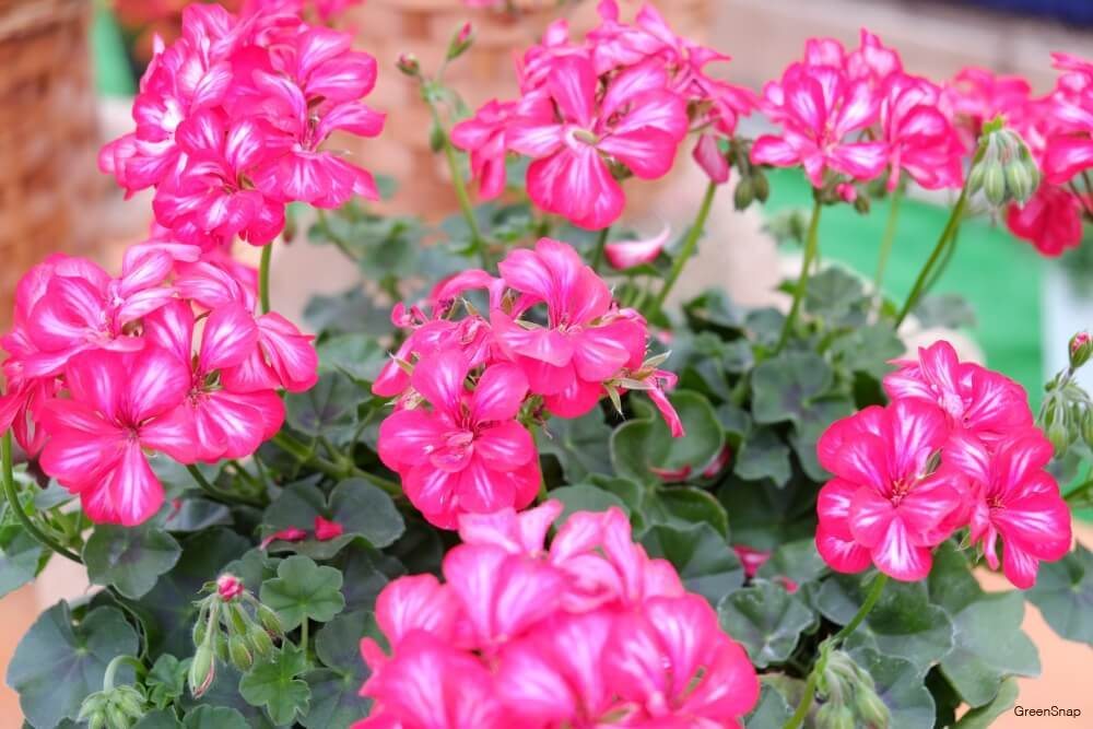 ピンク色の針植えされたゼラニウムの花の画像