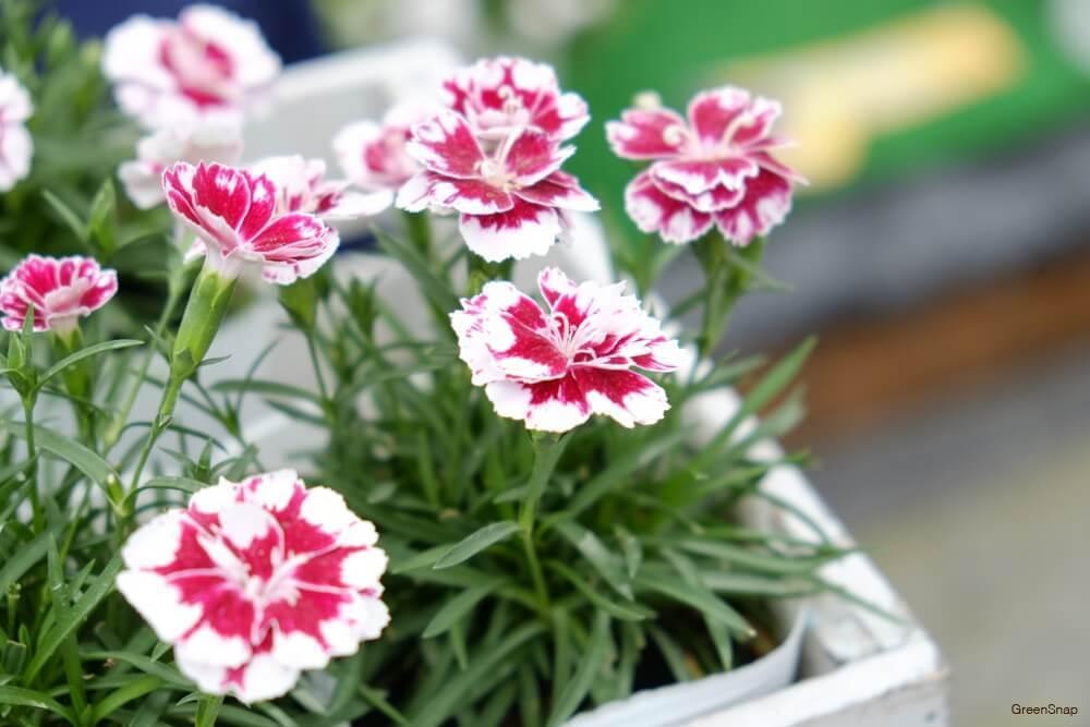 白色と赤い色の混ざったたくさんの鉢植えされたカーネーションの画像