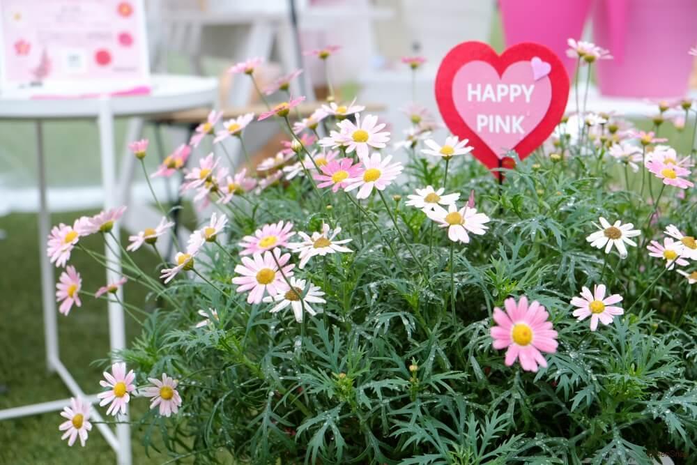 白とピンク色のマーガレットの花