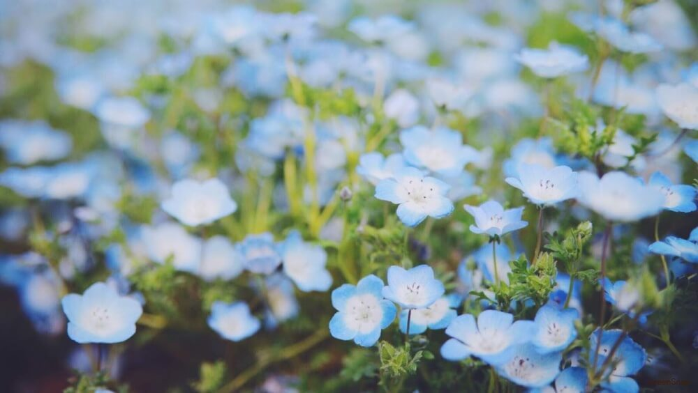 ネモフィラ 花