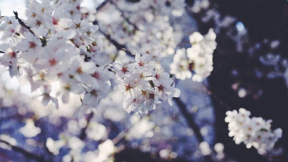 綺麗な白いサクラの花の画像