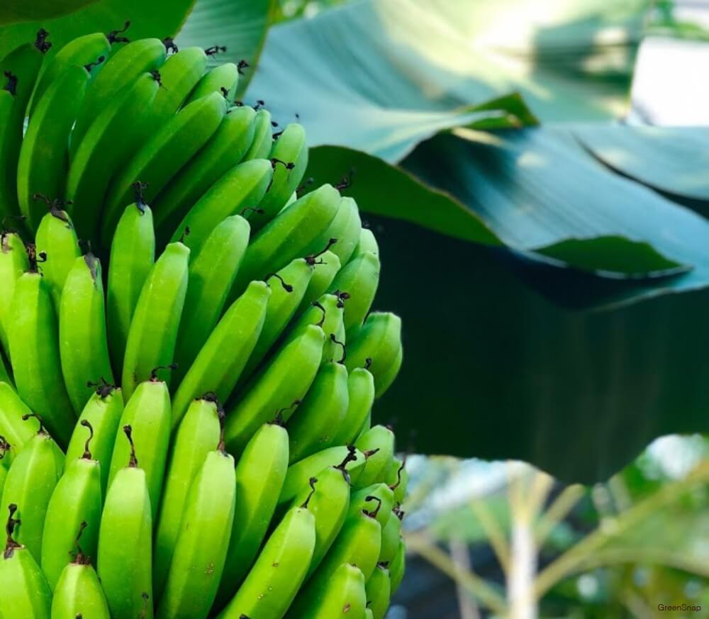 まだ青いバナナの木の画像