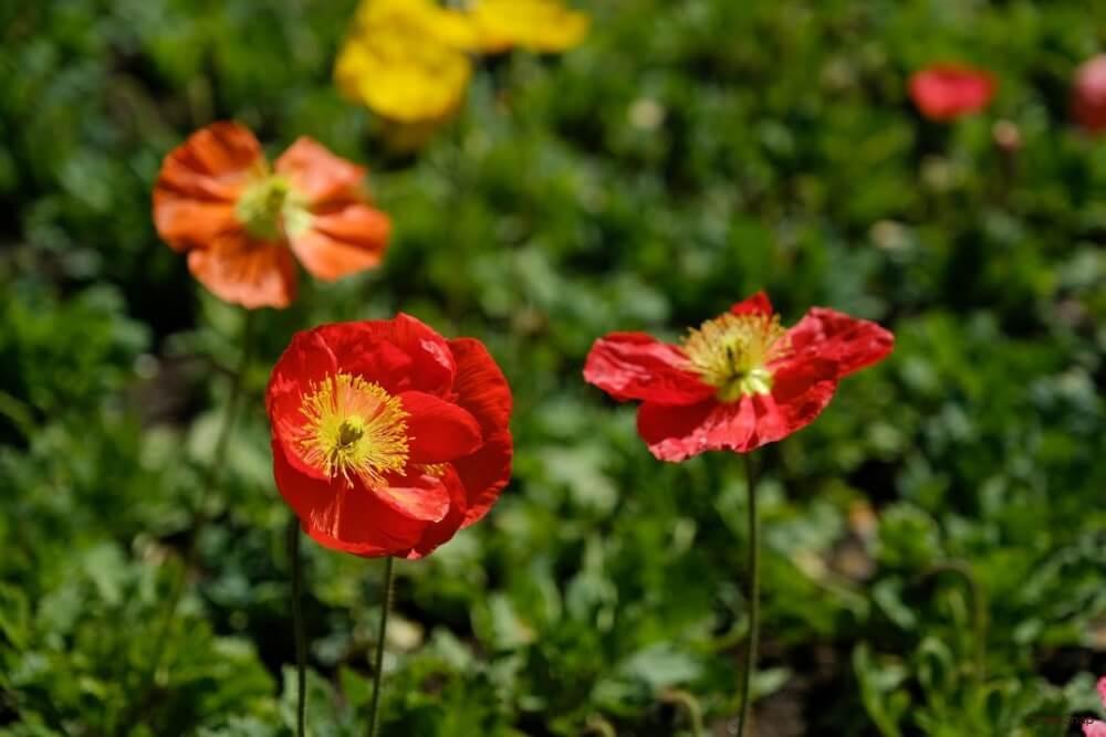 赤い色の地植えされたたくさんのポピーの花の画像