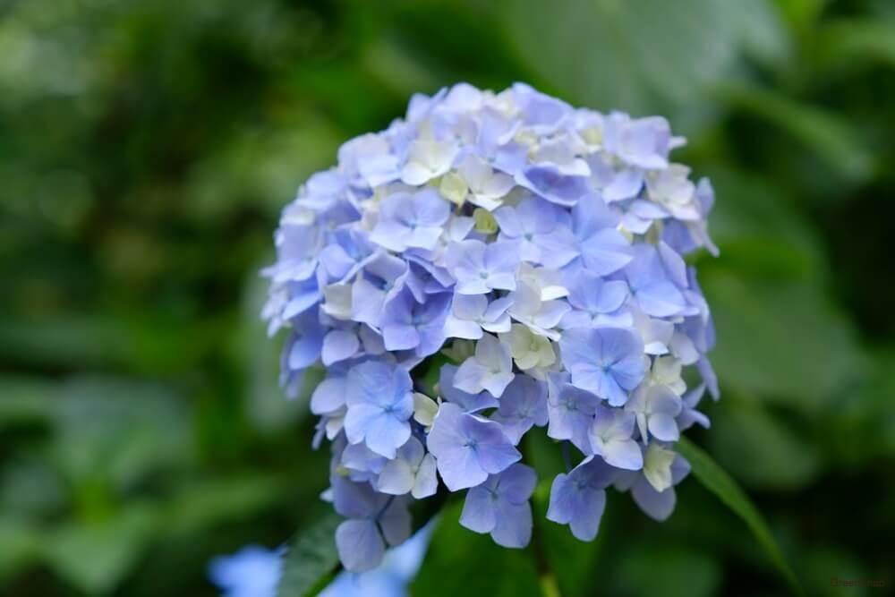紫陽花 アジサイ 花