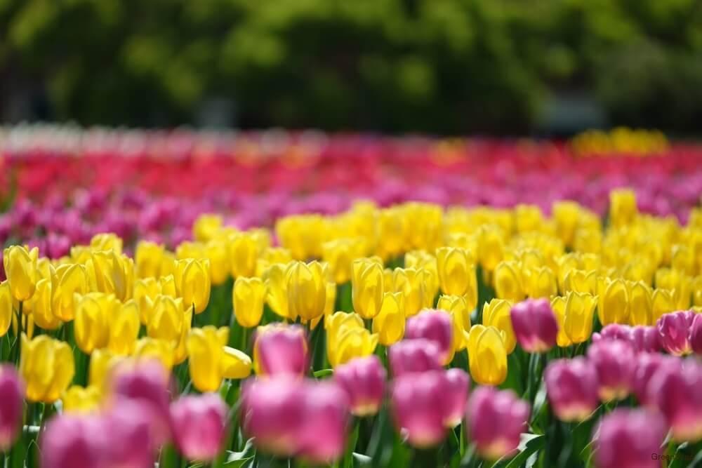 黄色のたくさんのチューリップ畑の画像