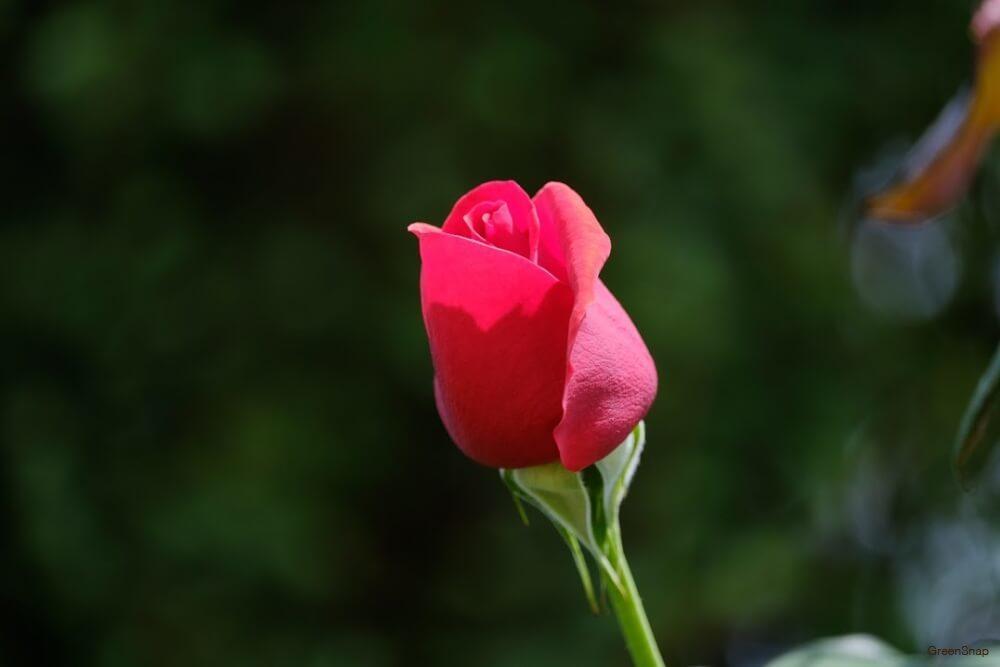 バラ 薔薇 花 ピンク