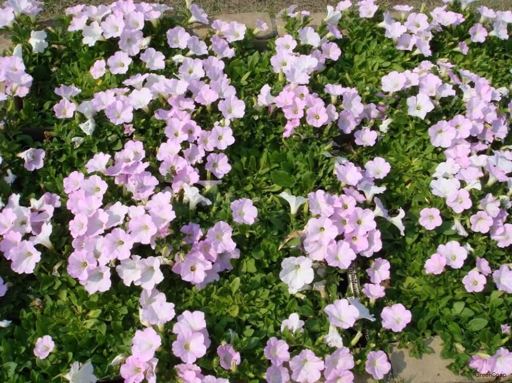 ピンク ペチュニア 花
