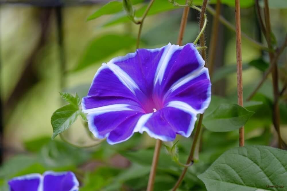 朝顔 アサガオ 紫