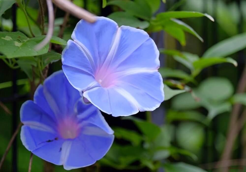 青色に白のストライプの柄のアサガオの画像