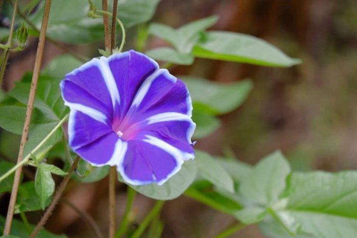 紫色 朝顔 アサガオ