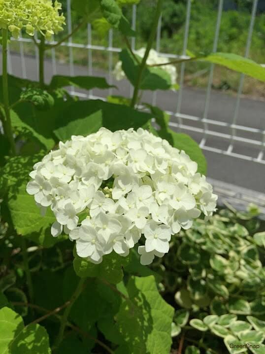 白色のガクアジサイ(アナベル)の画像