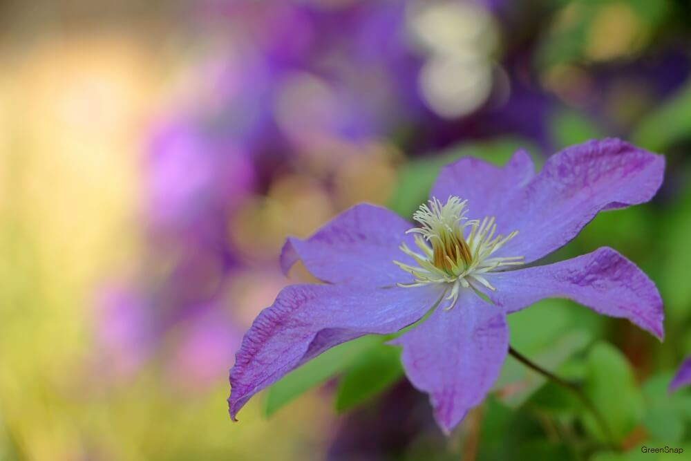 紫色のクレマチスの画像