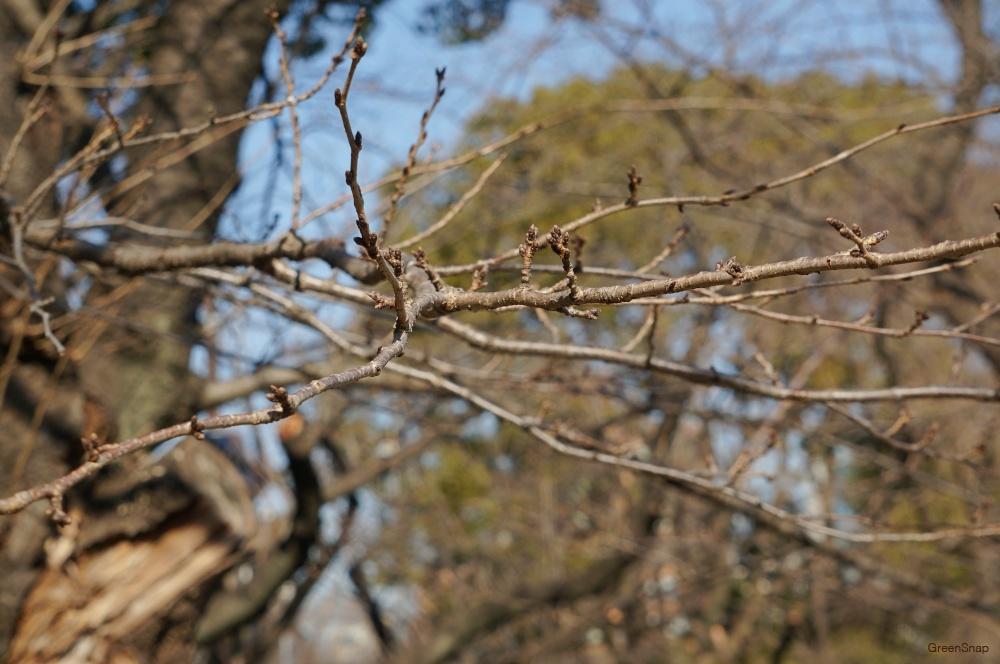 サクラ(ソメイヨシノ)の木の枝の画像