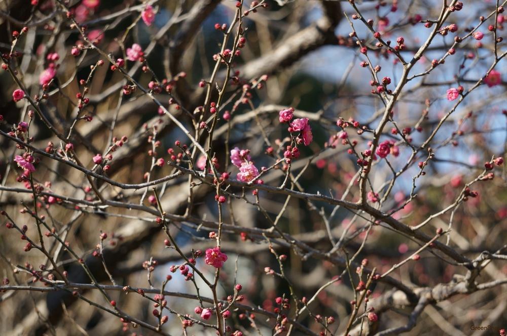 梅の木 花