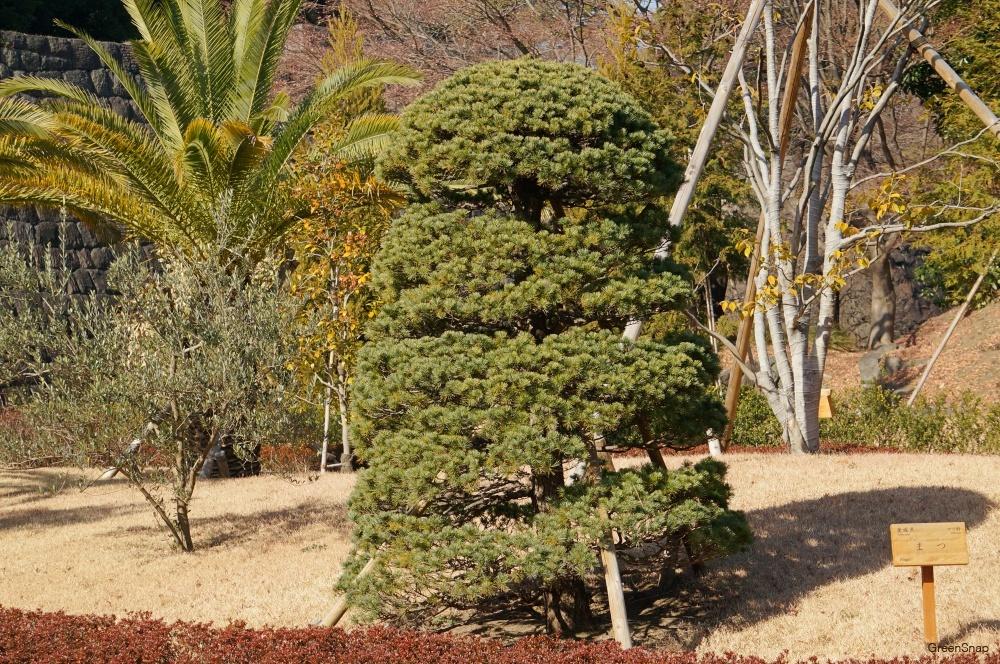 松の木 マツの木