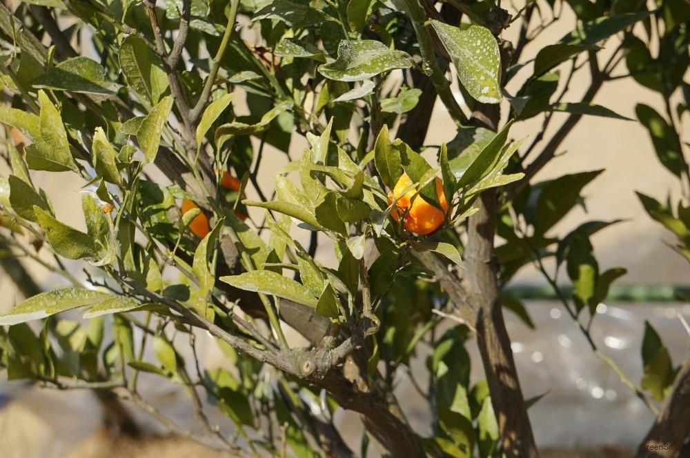 ミカンの実と木