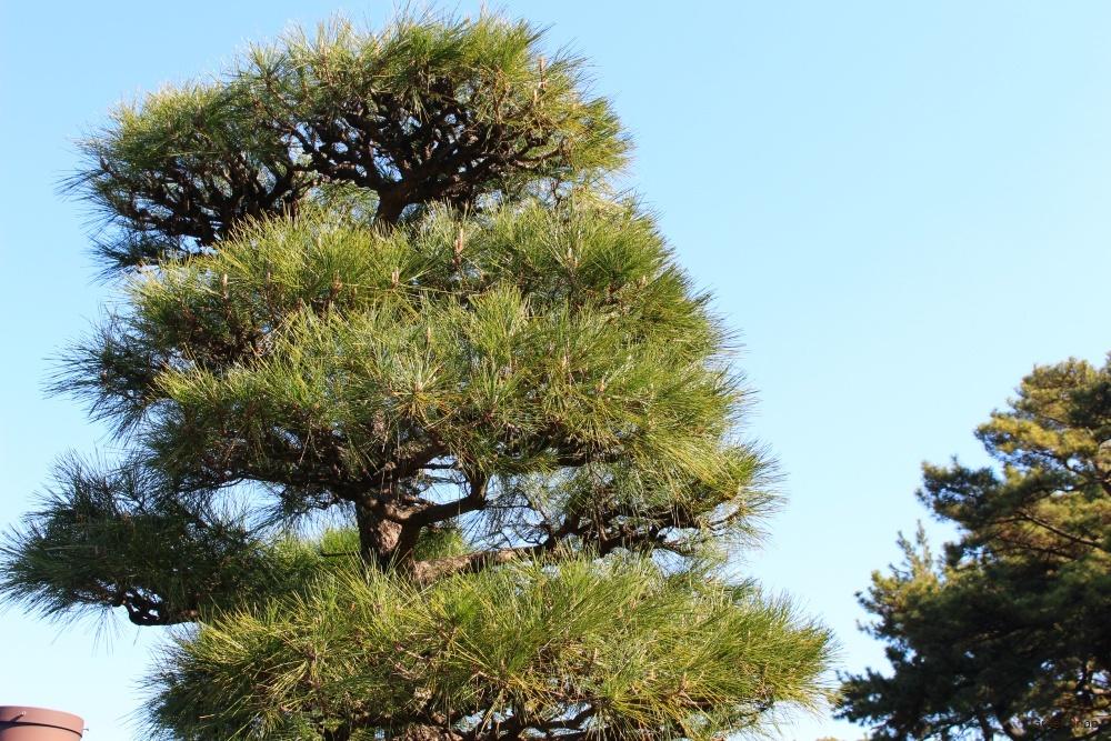 マツの木 松の木