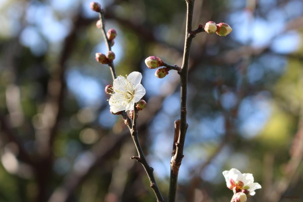 梅の花 ウメの花 ウメ 梅 花