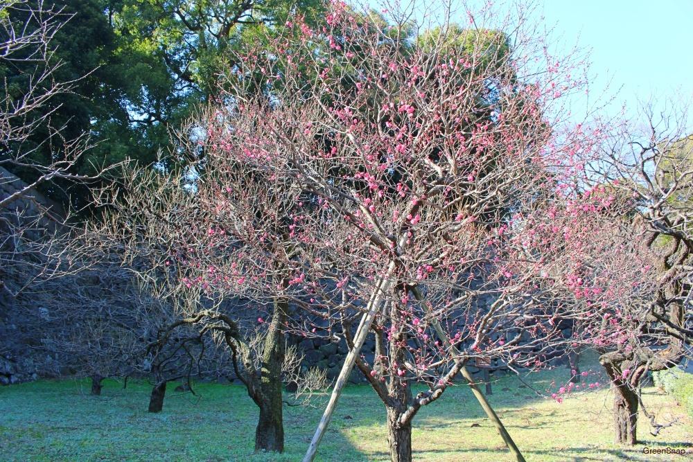 梅の木 ウメの木 ウメ 梅 花