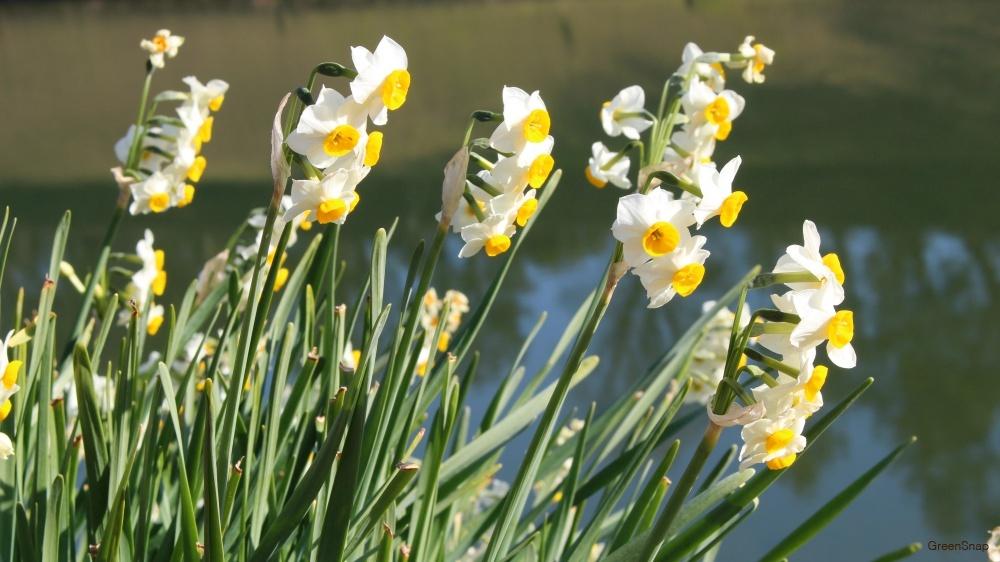 皇居で撮影された白いスイセンの花の画像