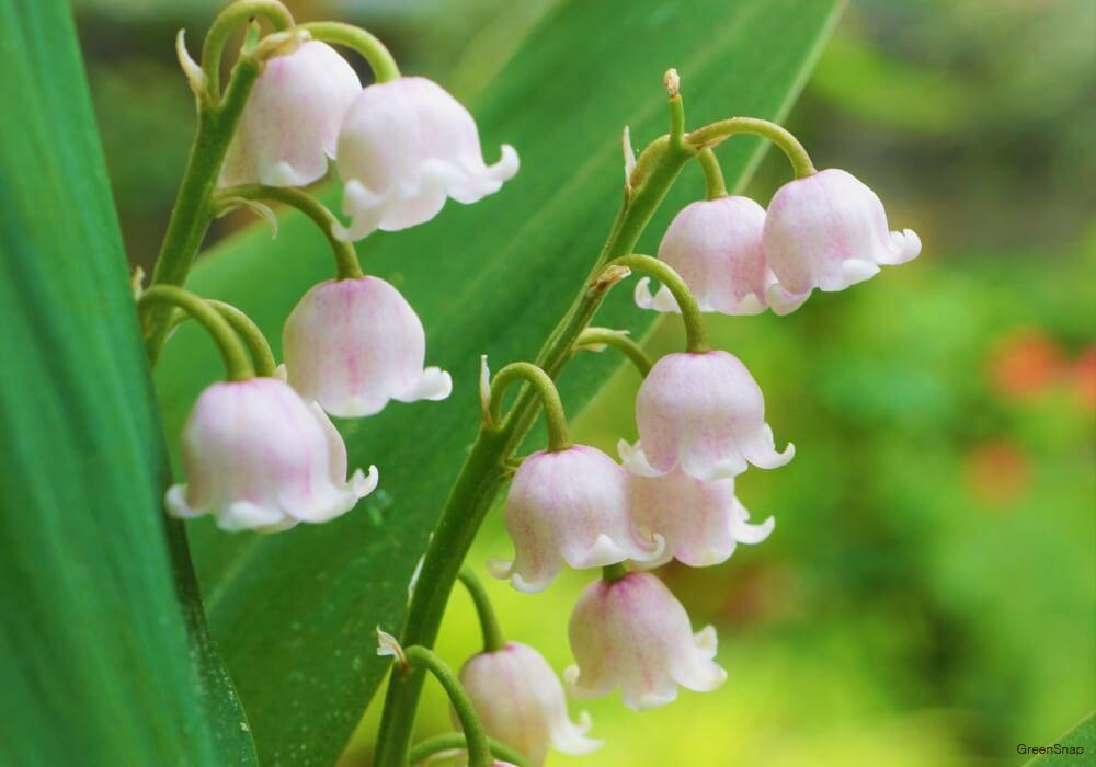 スズランの花の画像