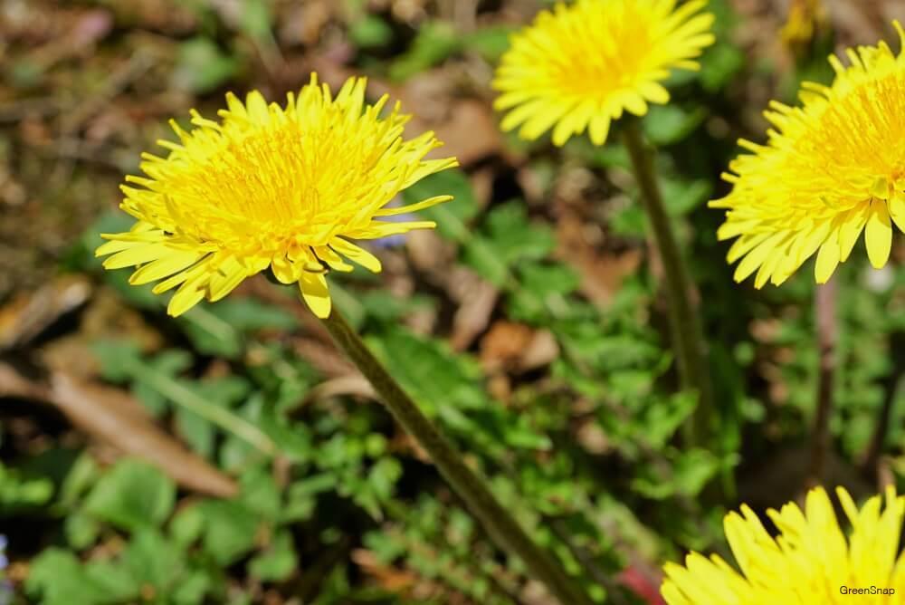 地植えされた黄色いタンポポの花の画像