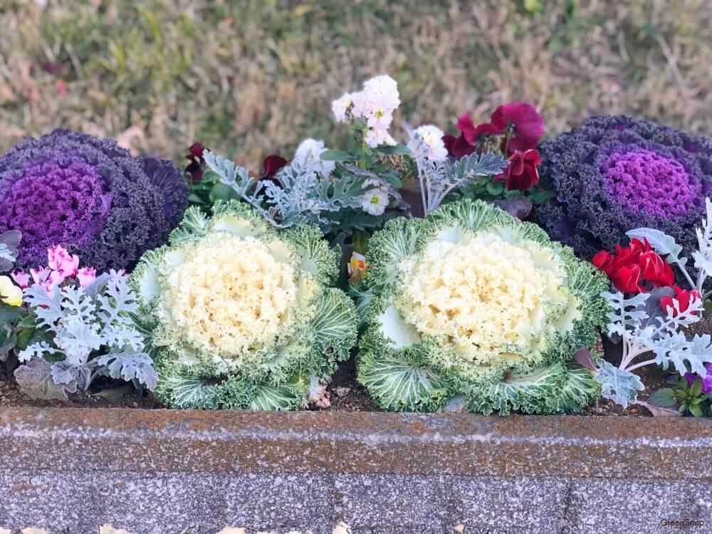 ハボタン(葉牡丹) 寄せ植え 花壇 ガーデニング