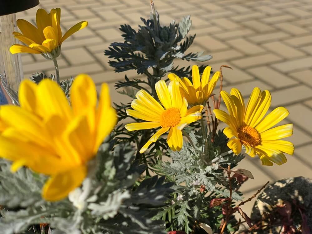 花壇に咲いている黄色いデイジー(ヒナギク)の花の画像