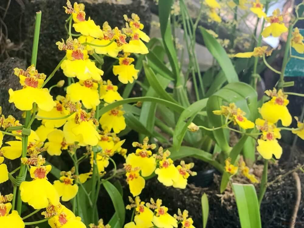 黄色いラン(オンシジューム)の花の画像