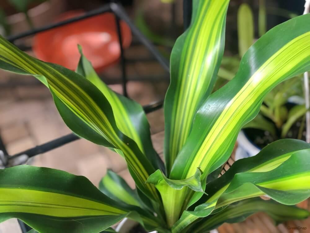 観葉植物ドラセナの画像