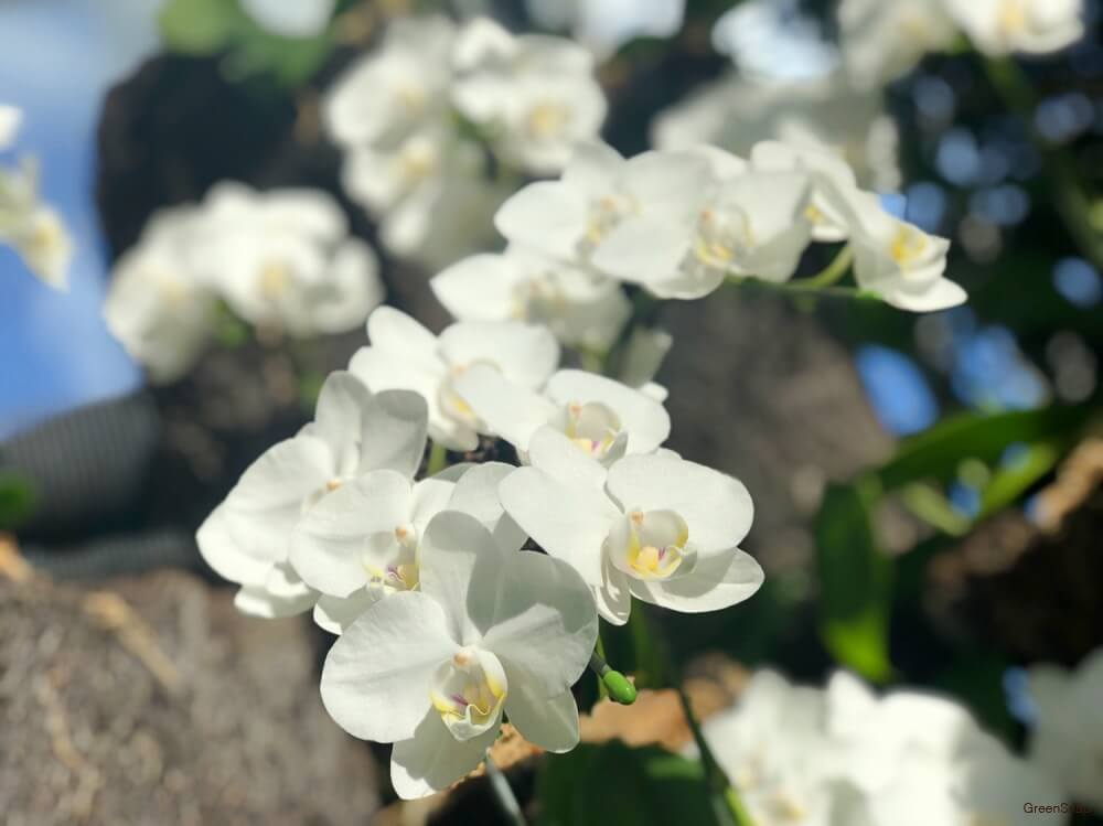 白い胡蝶蘭(ファレノプシス)の画像