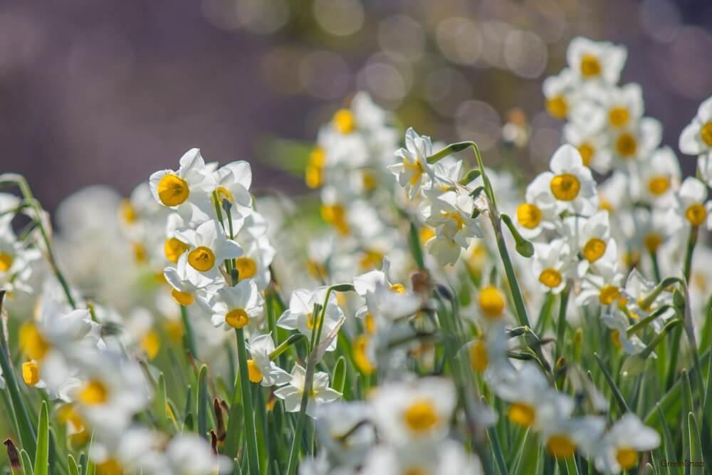 たくさんの白いスイセンの花の画像