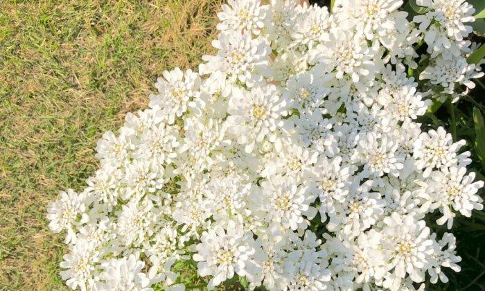 白色のたくさんのイベリスの花の画像