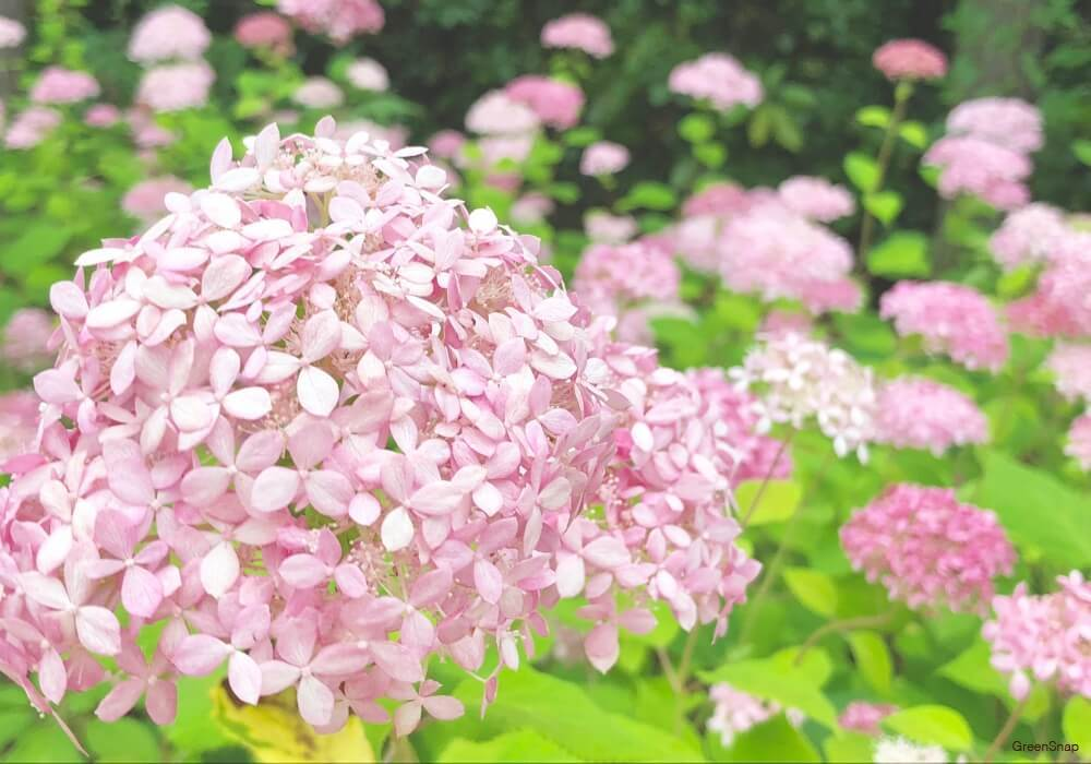 ピンクアナベルの花の画像