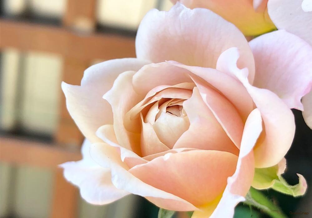 薄いピンク色のバラの画像