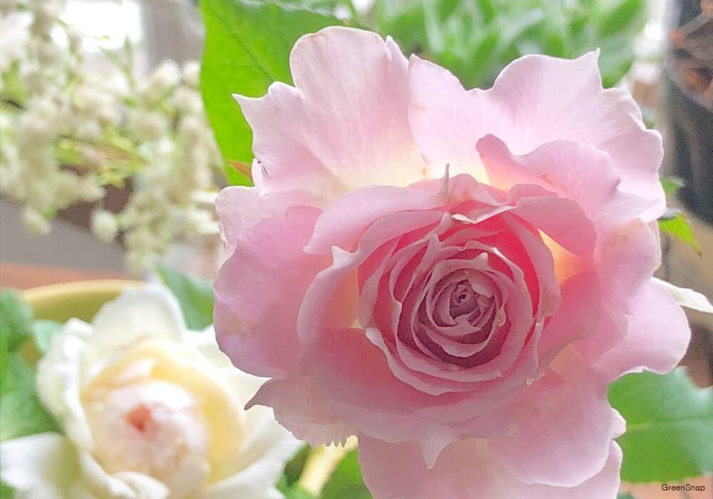 バラ 薔薇 花 ピンク 白