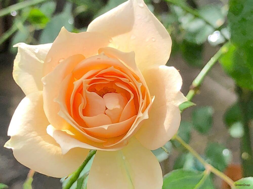バラ 薔薇 花 黄色