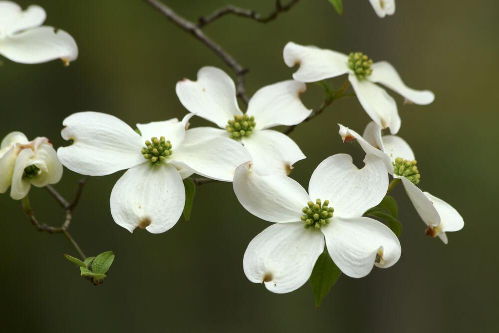 白いハナミズキの花の画像