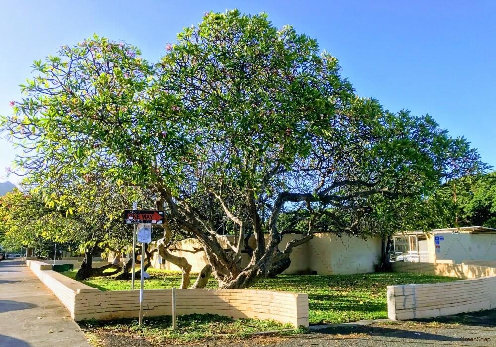 プルメリアの木