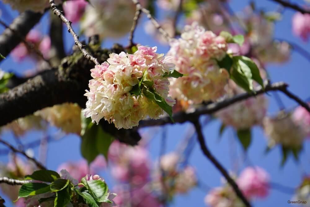 ピンクと白色が混在した桜の花と枝と青空