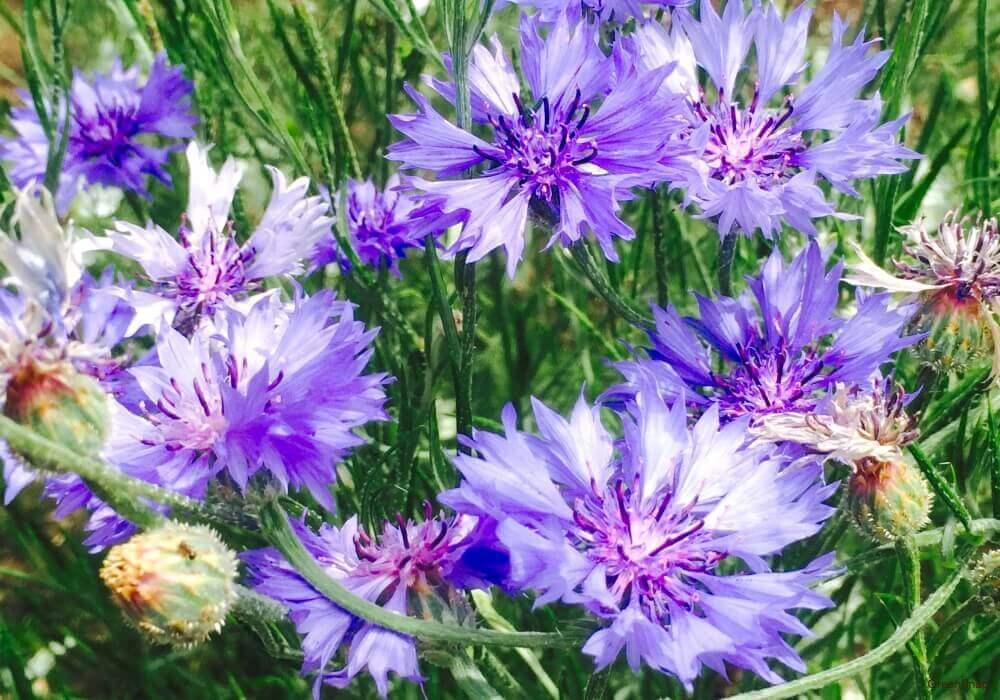 紫色の矢車菊の花の画像