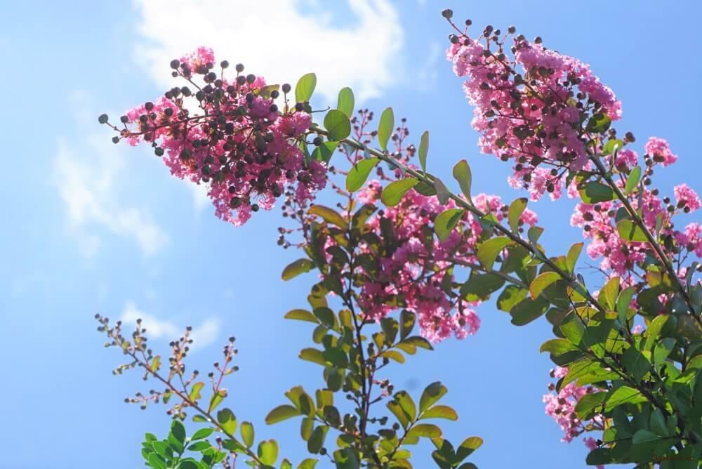 サルスベリ 花