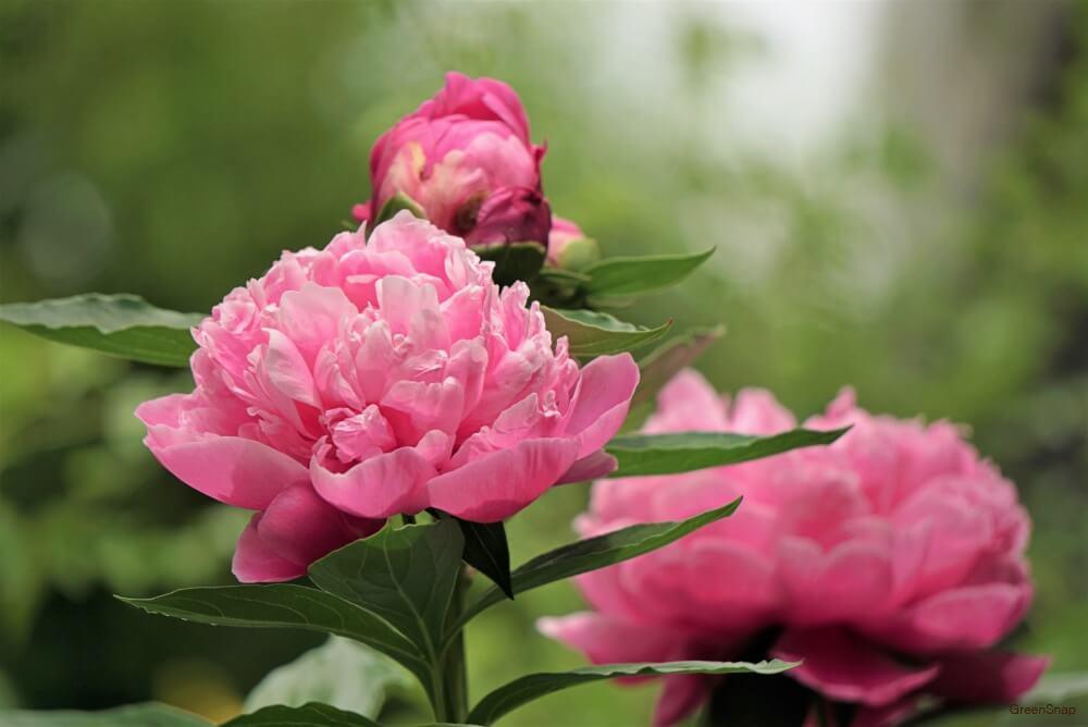 ピンク色のシャクヤクの花と蕾の画像