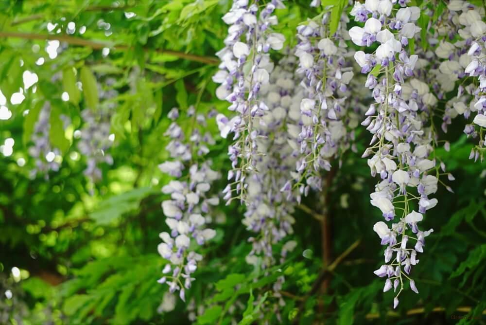 白と紫のフジの花