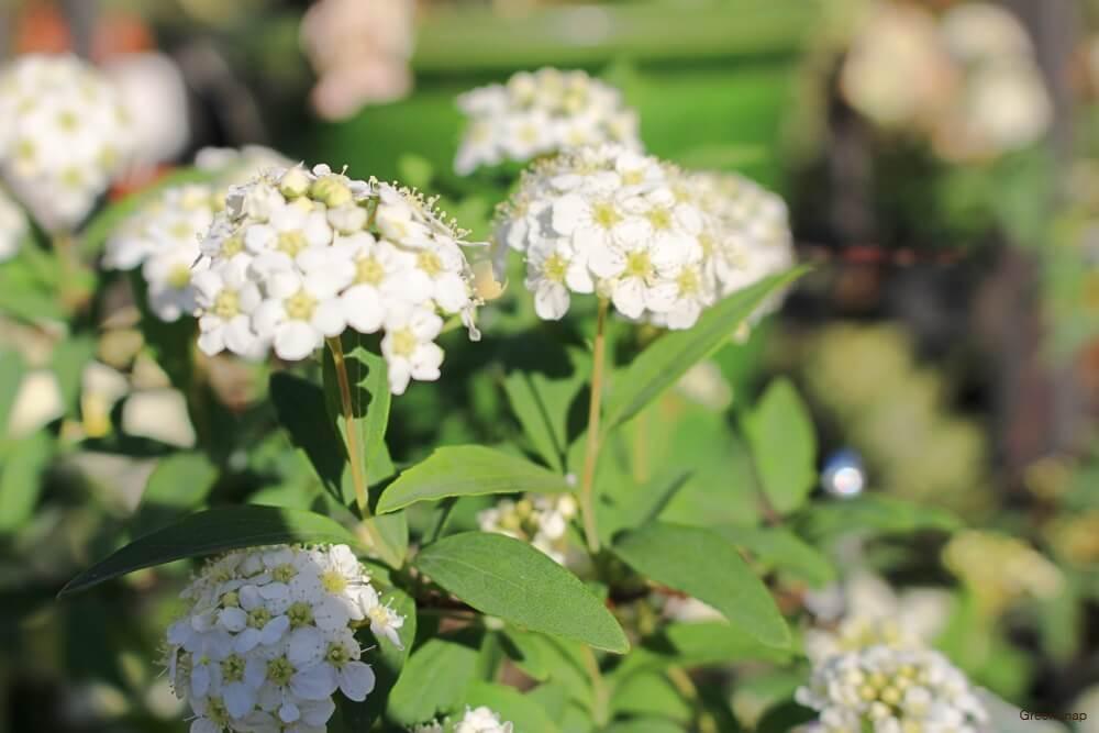 たくさんの白いムスカリの花の画像