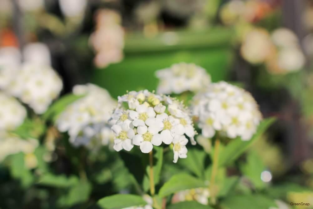 ムスカリ 花