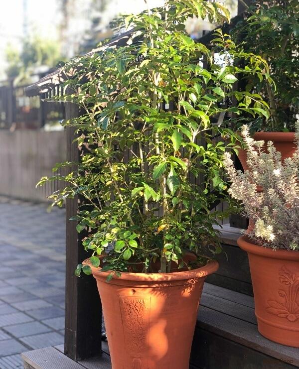 観葉植物 シマトネリコ 鉢植え