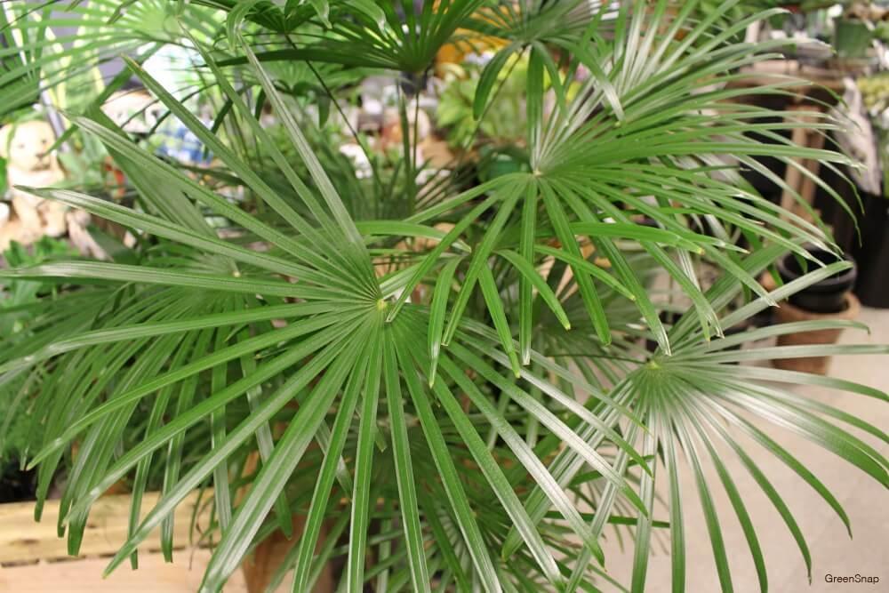 観葉植物シュロチクの画像